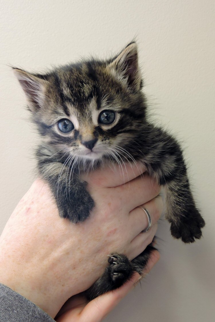 What to do if the kitten has much festering eyes One pus in his eyes What to do